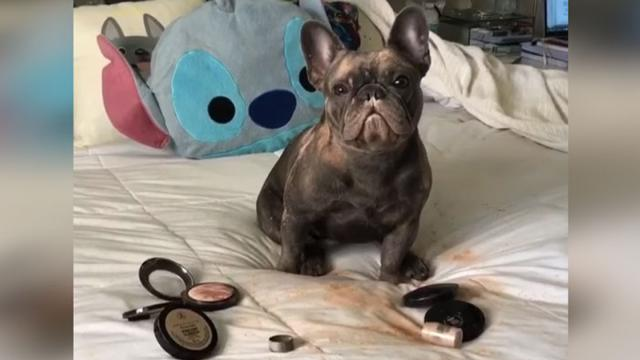 Guilty French Bulldog Eats Moms Makeup & The Confrontation Is Hysterical