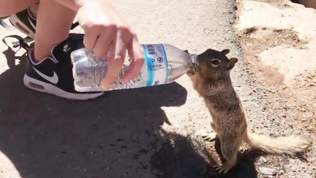 Thirsty Squirrel Grabs Some Water at the Grand Canyon