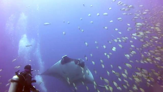 Tangled Manta Ray asks for divers help - Ghost Fishing - Costa Rica