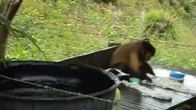 This monkey can do laundry just like a humans