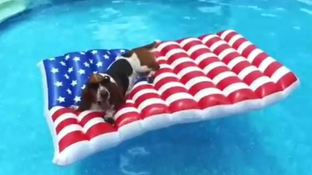 Basset Hound Celebrates Forth of July in Style