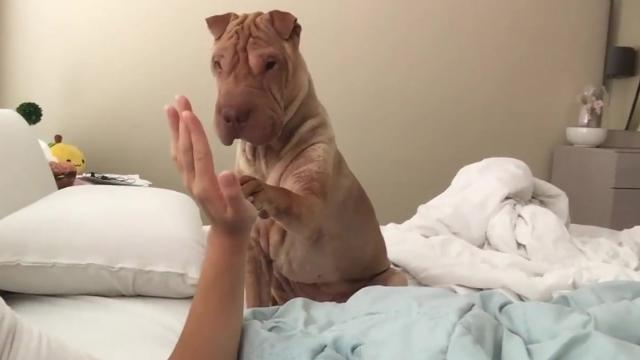 Polite Shar Pei gently wakes up owner_Large