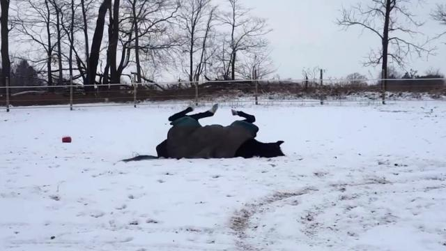Rescue horse Bella enjoying snow like a puppy