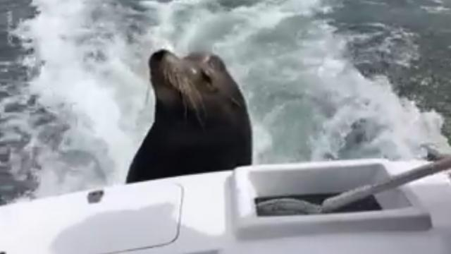 01.Hungry Sea Lion Catches Ride On Boat For Snacks