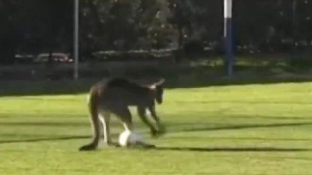 WATCH Kangaroo joins a football match in Australia but turns