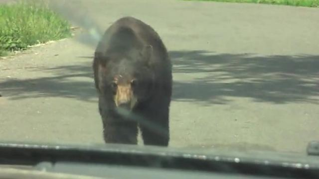 Huge Friendly Bear Greets And Investigates Family In The