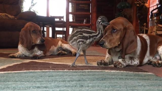 Baby emu tests limits of basset hound's patience