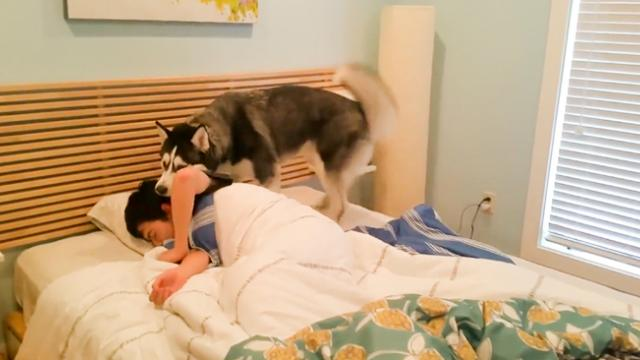 Husky Tries To Wake Up His Owner But He Ends Up Snuggling Him_2