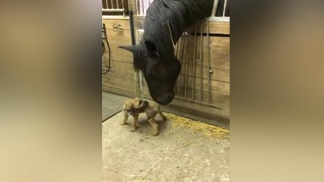 Border terrier puppy and Friesian horse play together [mYrSRX4J2xk]