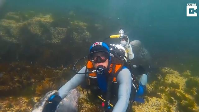 Wild Grey Seals Hugs a Diver and Caresses His Face in Captivating Underwater Encounter