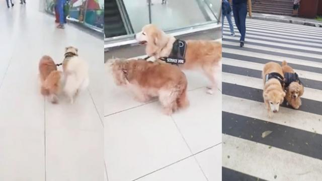 Blind dog has adorable Golden Retriever as seeing-eye guide