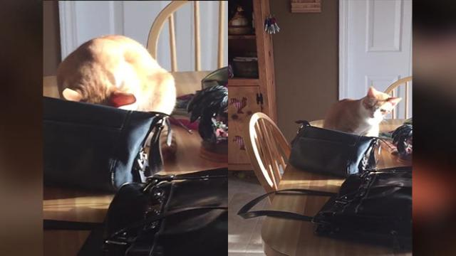 Pit Pocket Cat Steals Cash Out Of Owner's Purse