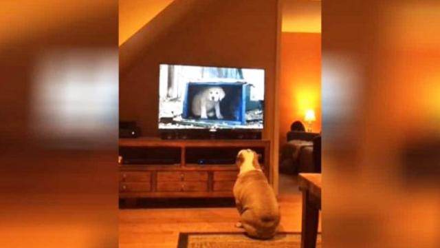 English Bulldog Never Misses Her Favorite Commercial