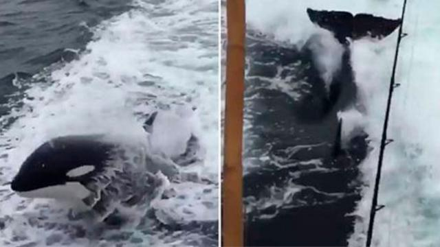Incredible Video Shows Orca Whales Trail a California Charter Boat