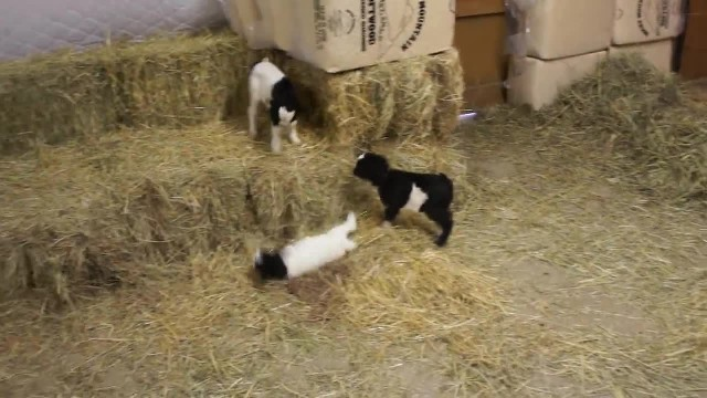 Baby Fainting Goats Meet Barn Chicken