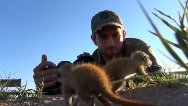Meerkats use wildlife photographer as scouting perch