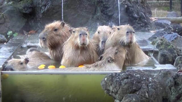 For capybaras, staying warm is a team sport