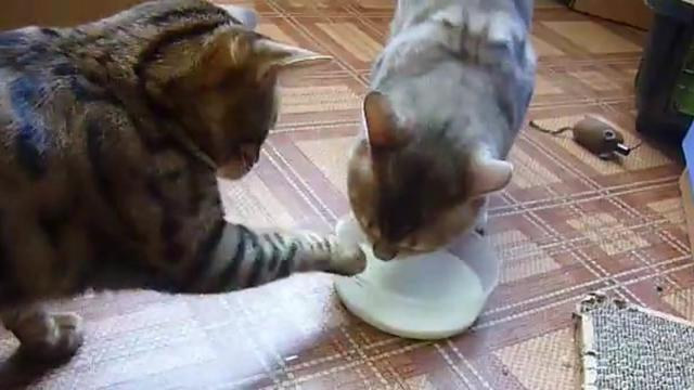 Cats Take Bowl Of Milk Away From Each Other In Hilarious