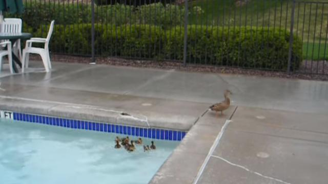 Man Thinks Of Genius Rescue Plan To Save Baby Ducklings