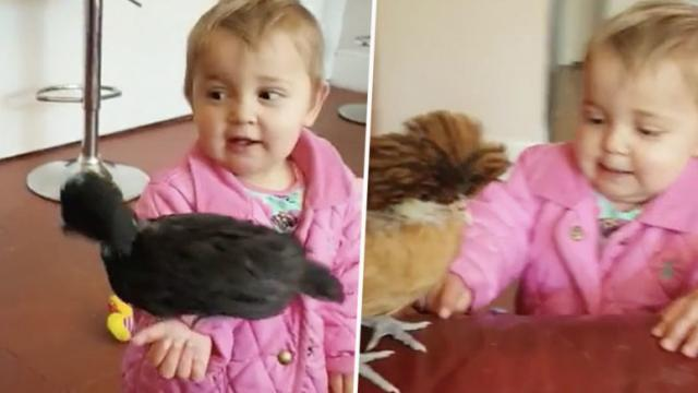 Toddler And Her Two Pet Chickens Are Best Friends