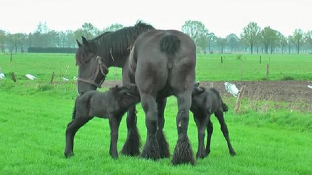 Horse Gives Birth To Rare Set Of Twins Only To Have Captured