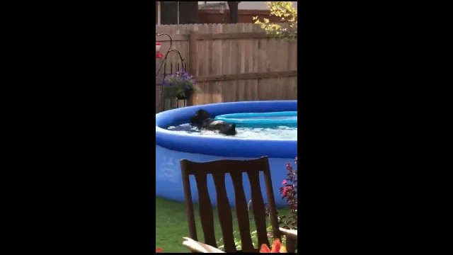 Dog Acts Invisible When Caught In Swimming Pool