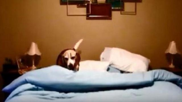 Beagle has hilarious bedtime routine