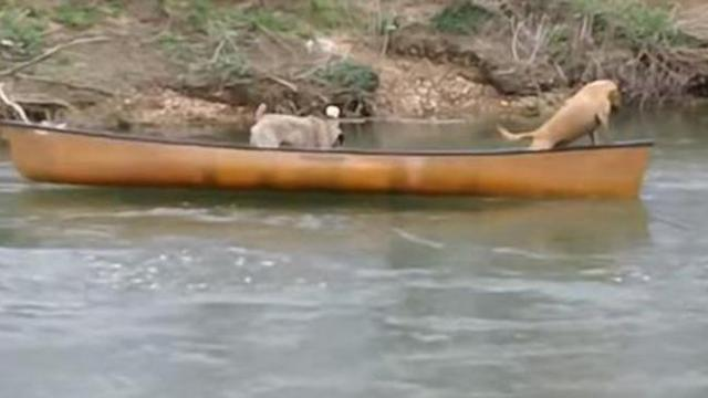 Two dogs were stranded on a canoe and crying for help when a labrador decided to save the day