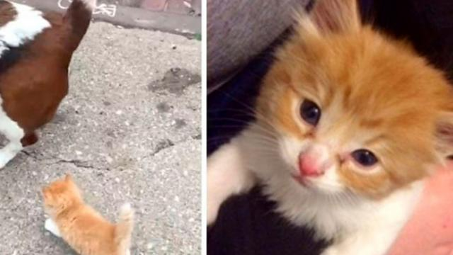 Stray Kitten Sprints Up to Man and Dog and Determined to Follow Them Home..