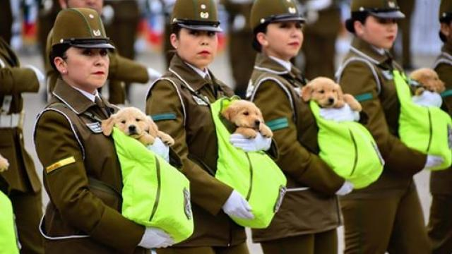 Chile's newest puppy police officers stole the show at an annual military parade