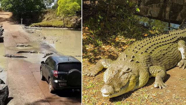 Croc horror! Tourists suddenly find themselves surrounded by THIRTY saltwater crocodiles at a deadly