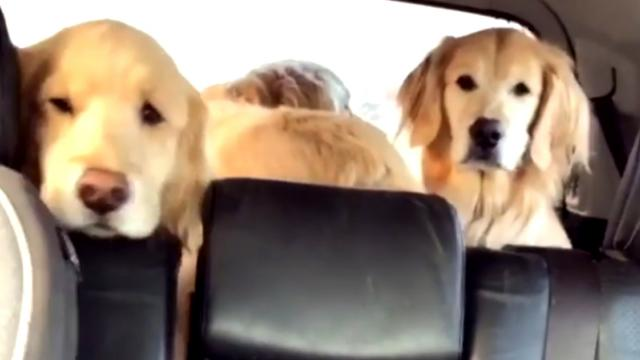 Grumpy Dogs Refuse To Answer Mom After Trip to Vet Until She