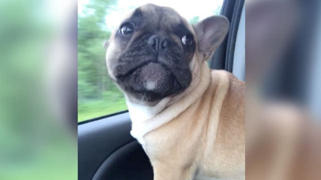 French Bulldog Howls Along To Adeles Hello - InspireMore
