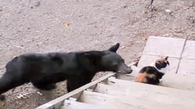 What Will Happen When A Baby Bear Meet A Cat -