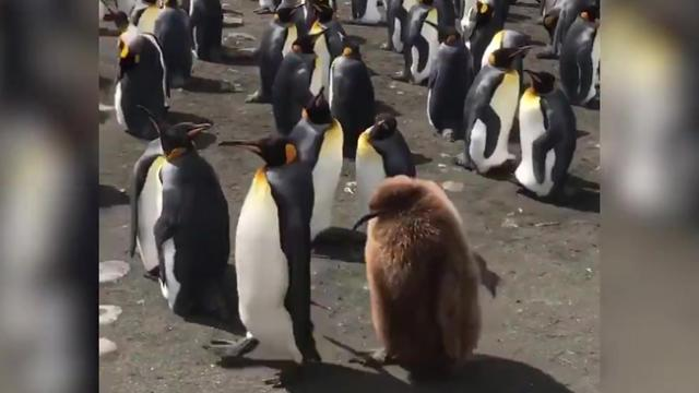 Hilarious moment king penguin chick waddling behind an unknown adult king penguin for food