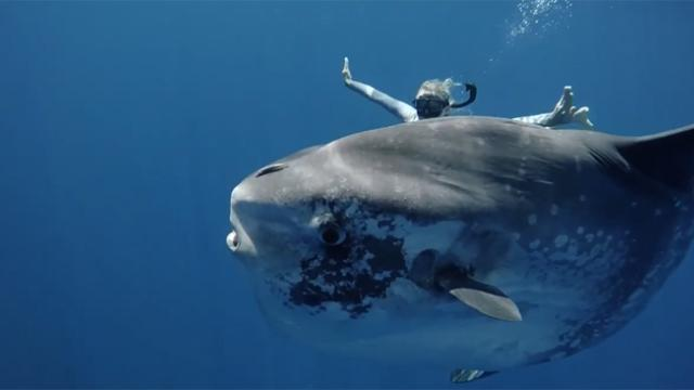 Hawaiian Freediver Encounters Her 'Spirit Animal' as She Swims With Huge Ocean Sunfish