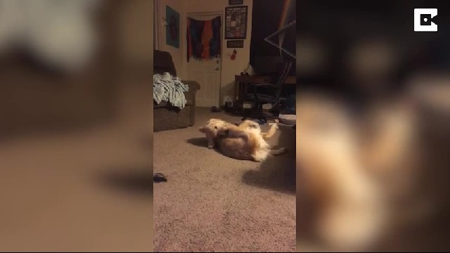 Hilarious moment dog is playing with its tail and does funny kick