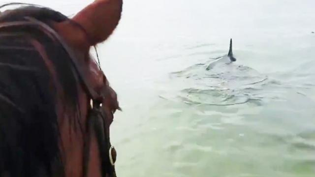 Horse Goes For A Swim, Friendly Dolphins Decide To Tag Along