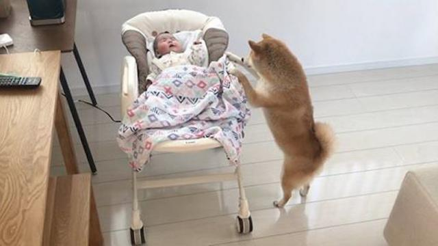 Concerned Shiba Inu dog comforts a crying baby