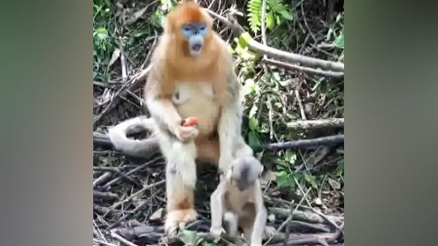 Mom Monkey Tries To Eat Peach But Baby Keeps Interrupting