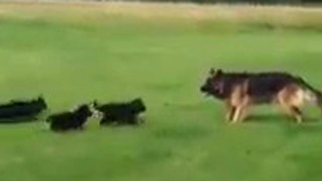 The German Shepherd Dog Community - Now thats what I call