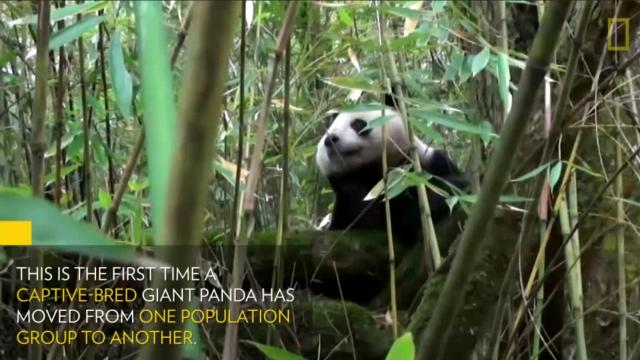 This video could be proof that efforts to return pandas to the wild are working
