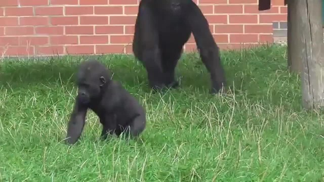 Older Sibling Tries To Harass Baby Gorilla, Gets A Taste Of His Own Medicine