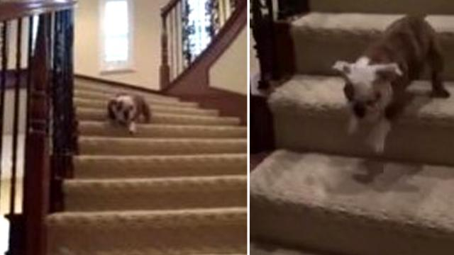 Lulu the bulldog pup musters up the courage to finally trot all the way down the stairs!