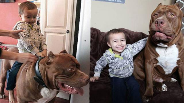 At 173 Pounds, Hulk Might Be The Worlds Biggest Pitbull And Hes Still Growing!