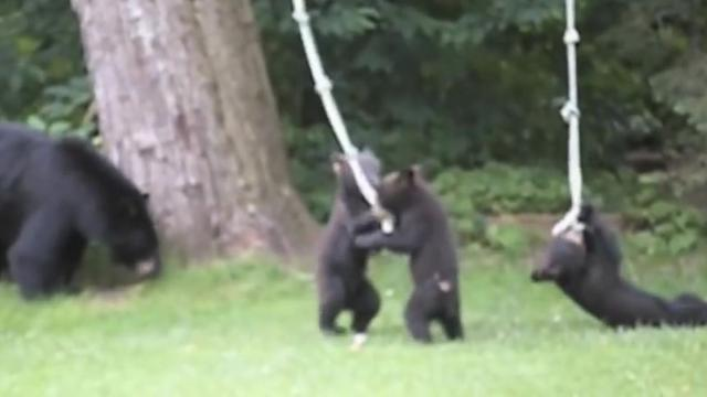 Playful Bear Cubs Play With Backyard Rope Swing_Large
