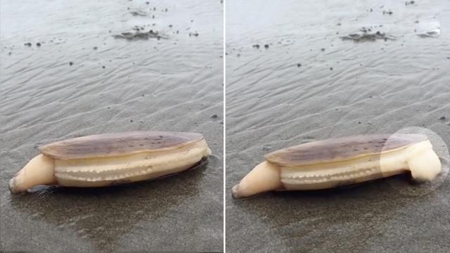 Beachgoer spots strange clam & hits record—but suddenly,