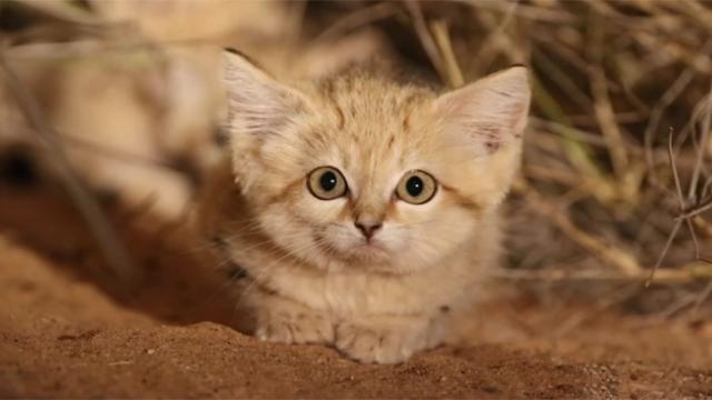 Rare footage captures sand cat kittens being cute in the wild_Trim