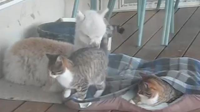 Friendly Alpaca Shares an Incredible Bond with Two Cats