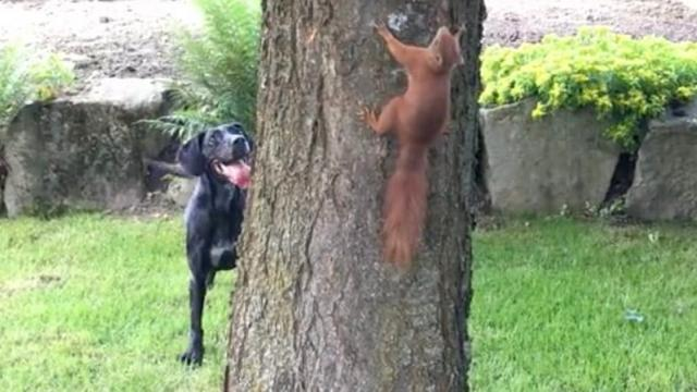 Dog and Squirrel Play Chase Around a Tree __ ViralHog
